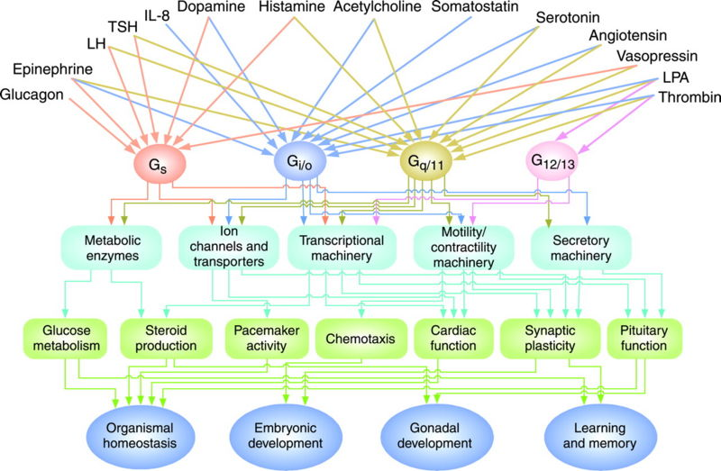 File:Neves G protein pathways.jpeg