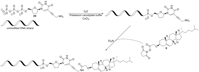 Scheme 9. Enzyme catalyzed DNA labeling.