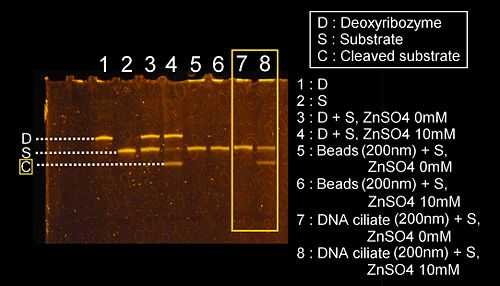 The denaturing PAGE image for the investigation of the deoxyribozyme activity on the DNA ciliate which is 200nm in diameter