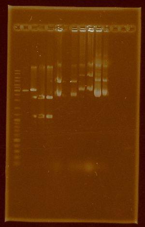 Dramirez doubledigestion E0430 J04450 plasmidextraction E0430 I20260 J04450.jpg