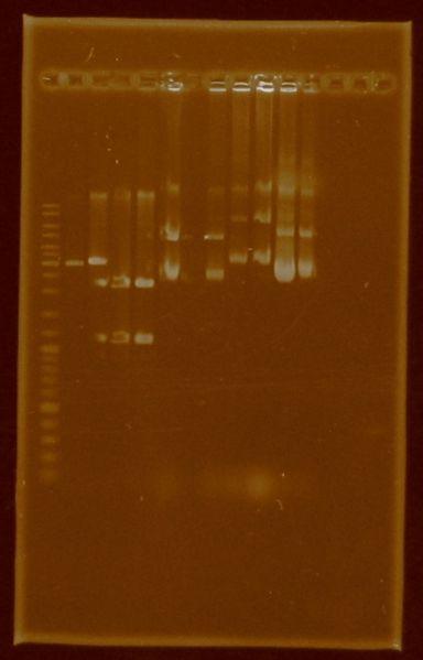 File:Dramirez doubledigestion E0430 J04450 plasmidextraction E0430 I20260 J04450.jpg