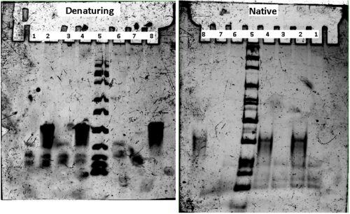 Figure 26. Native and denaturing gel. Lanes are: 1) DM-TMM - template. 2) DM-TMM + template. 3) EDC/SulfoNHS - template. 4) EDC/Sulfo-NHS + Template. 5) 25 bp ladder. 6) DNA-peptide conjugate. 7) DNA-NH2. 8) Template.