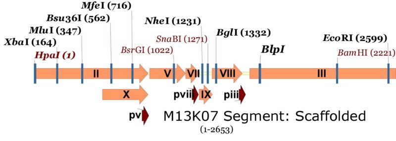 File:M13Scaffold.jpg
