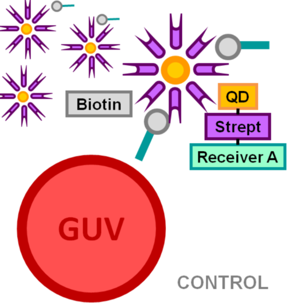 File:BM12 nanosaurs Quantum dot 625-Streptavidin as target species50xCONTROL.png