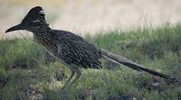 This is a picture of the roadrunner that hunts outside my office at the CHTM.  He brings my lab good luck.  I posted this on wikipedia, and some dude in Germany used this photo for his report on the cuckoo family of birds.  Did you know that the roadrunner is in the cuckoo family?  I did not, but now I do.