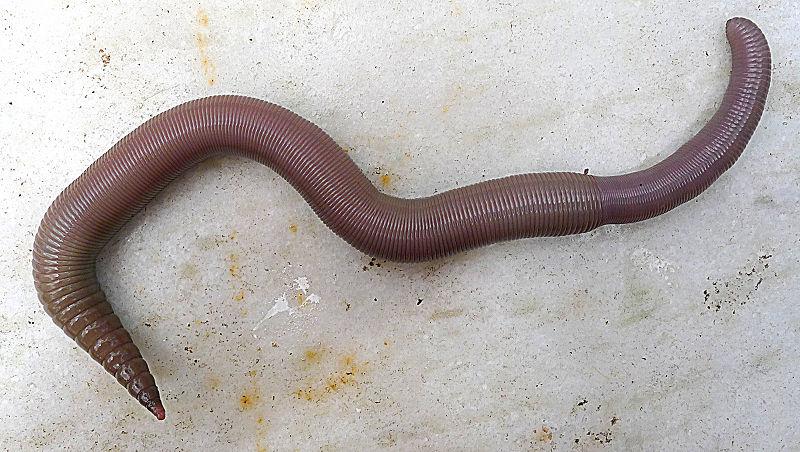 File:Annelid worm.jpg