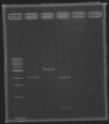 Extractionbefore biobricks 130710.jpg