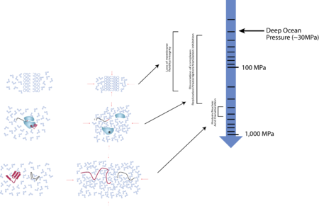 Illustration of effects of high hydrostatic pressure