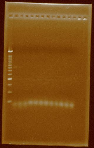 Dramirez PCR Pfxplatinum Enhancerbuffer HydAOpt.jpg