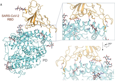 This image from the Yan et. al. (2020) paper shows SARS-CoV-2 interacting with an ACE 2 protomer