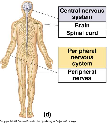 Central and peripheral nervous system [3]