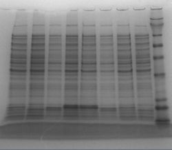 2z last denaturation electrophoresis 27.jpg