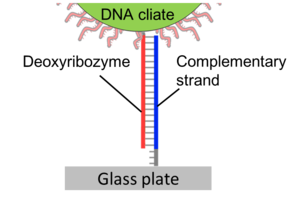 Figure1:The confirmation of DNA ciliate gathering at one spot.