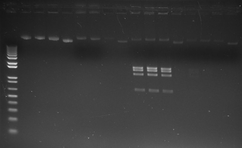 File:20141023 accessory plasmid xmni test.jpg