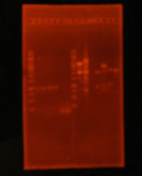 File:9sepPCRCol Ligations.JPG