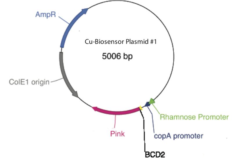 File:Copper Biosensor plasmid map.png