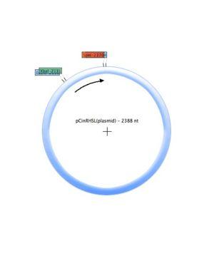 PCinRHSL (plasmid).jpg