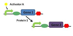 Repressilator Genetic Circuit