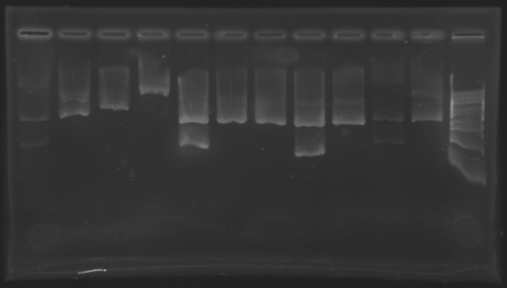 File:Extractionbefore biobricks 150710.jpg