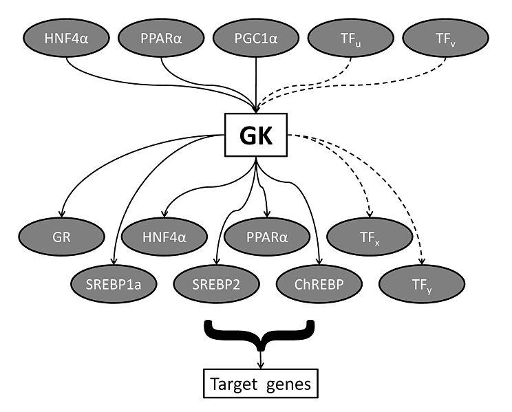 File:Fig1 GK transcriptional network.jpg