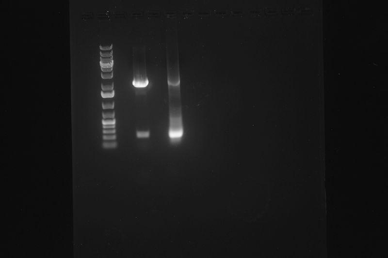 File:2015-11-11 E-S digestion DBN001 pSB1A3 DBN008.JPG