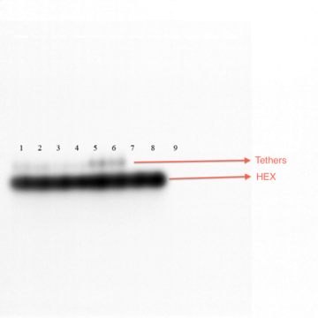Figure 18-TClaw and Hex Pre-Sybr Gel. Figure 18 shows same gel as Figure 17 before staining with SYBR. HEX strands and tethers are visible. Lanes 1-4 (TClaw) have less tethers present in the product, when compared to lanes 5-6 (NClaw), potentially because tethers are binding to the claw, and just excess tether can be seen in lanes 1-4.