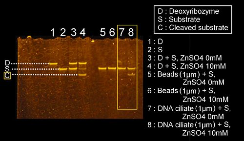 The denaturing PAGE image for the investigation of the deoxyribozyme activity on the DNA ciliate which is 1um in diameter