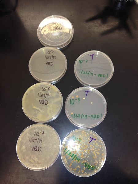 File:Group3bacteriacultures.jpg