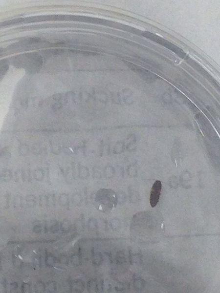 File:Beetle1.jpg