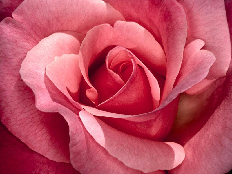 File:Pretty in pink, roses.JPG