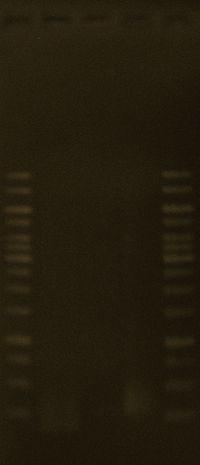 8June2010 PCR for Blue Promoter & OGR SUCCESSFUL.JPG