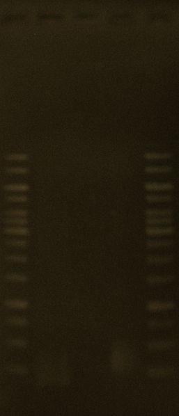 File:8June2010 PCR for Blue Promoter & OGR SUCCESSFUL.JPG