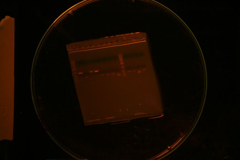 File:Colony PCR 2245+1091 Second try.JPG
