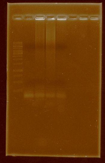 Creindhartii HydG HydEF PCR.jpg