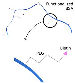 Biotinylation of BSA using Biotin-PEG-Mal