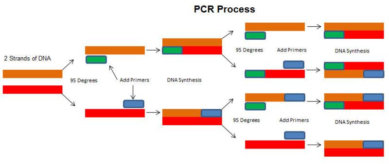 File:PCR Process.jpg