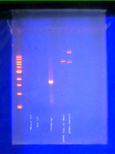 File:DNA gel 070811labeled.jpg