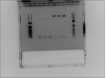 Gal4 Barnase PCR 2nd.jpg