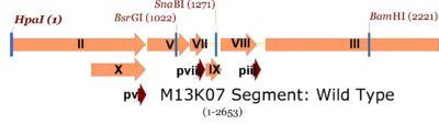 M13K07 map showing single cutters in gene II through III region