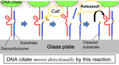 Figure.1:The mechanism that DNA ciliate moves directionally.