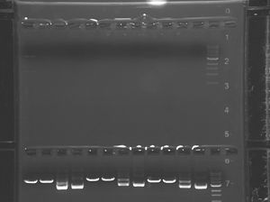 Green group gel (upper)