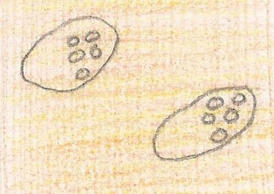 Illustration of Two Colpidium