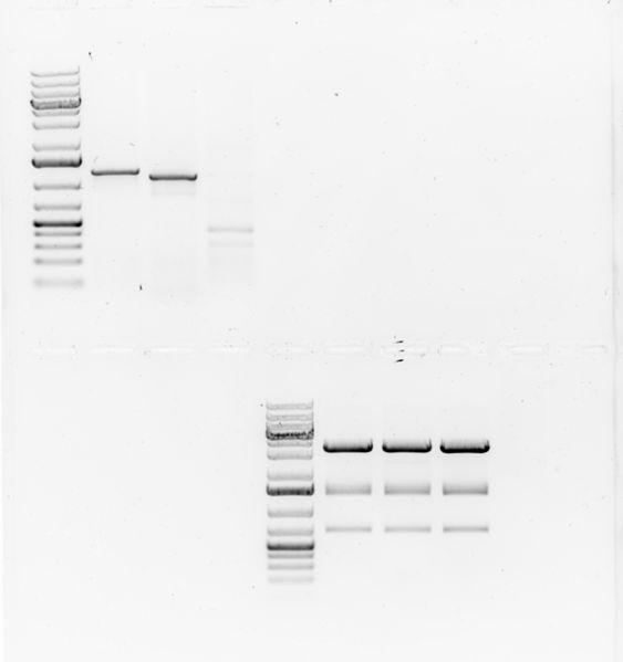 File:20161-06-21 Verification gel 2.jpg