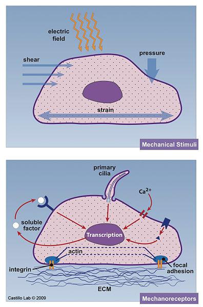 File:Castillo Lab Cell Mechanosensors.jpg