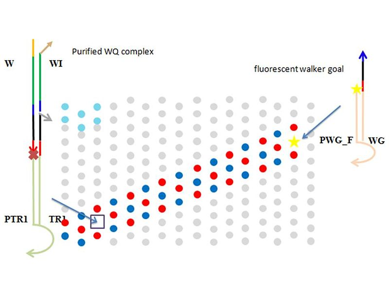 Figure 0. Verification of random walking on origami using fluorophore and quencer. When a walker reaches to the walker goal, fluorophore is quenched and bulk fluorescent level decreases