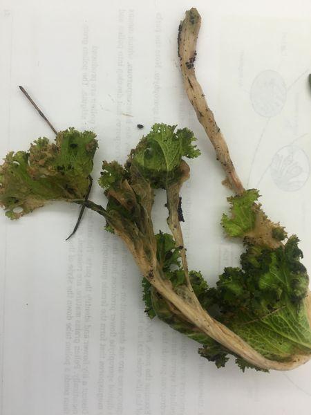 File:Lettuce whole sample.JPG