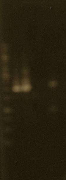 File:Extracted plasmids & restrictions 24Jun2010.JPG
