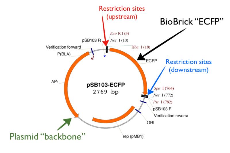 File:Biobrick-circular-diagram.png