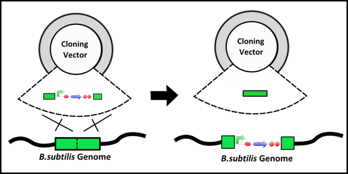 Integration Mechanisms - Picture is adapted from Bacillus Genetic Stock Center