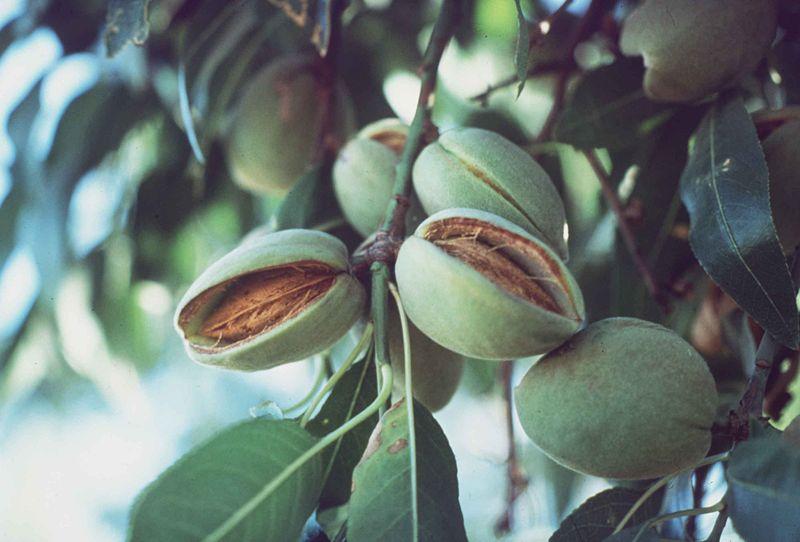 File:Almonds on tree split hull.jpg